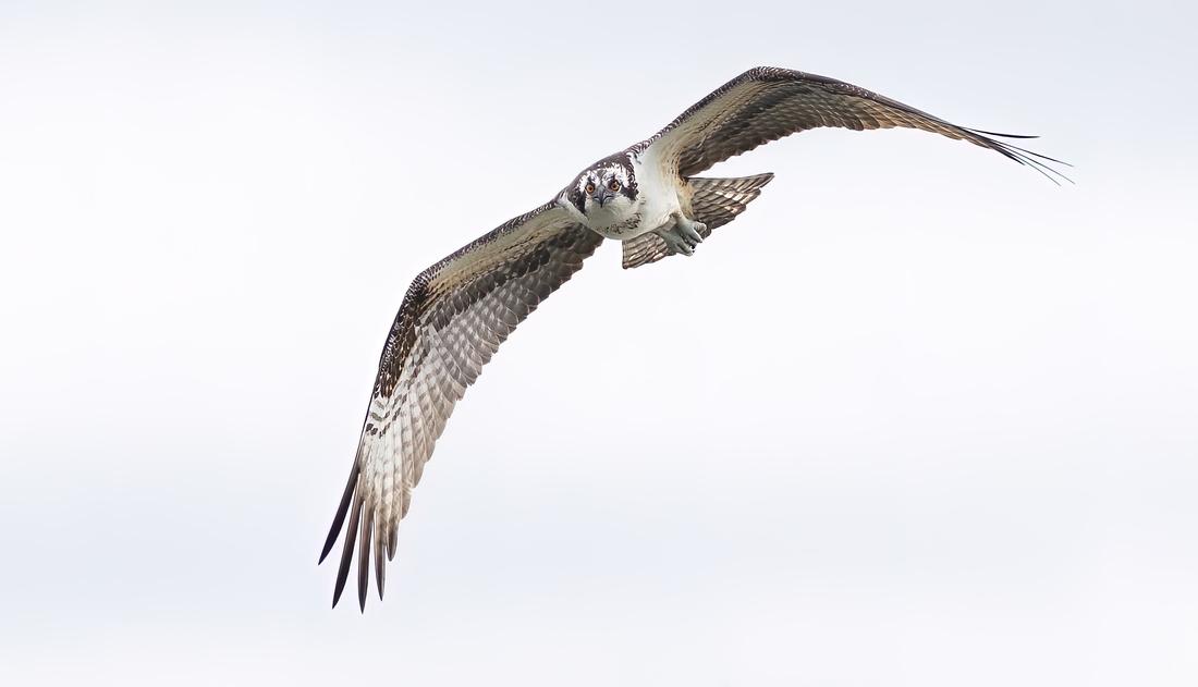 Osprey Eye Contact