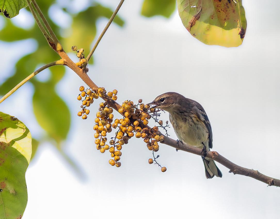 Yellow-rumped Warbler Eating Dinner