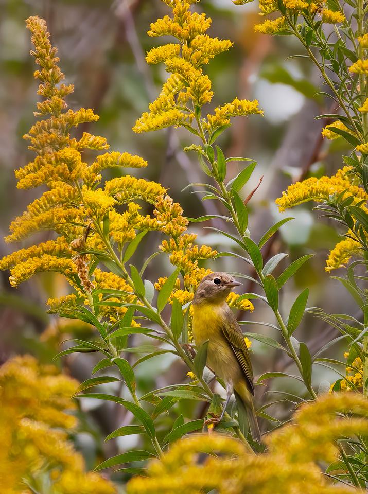 Nashville Warbler Blending in with the Goldenrod