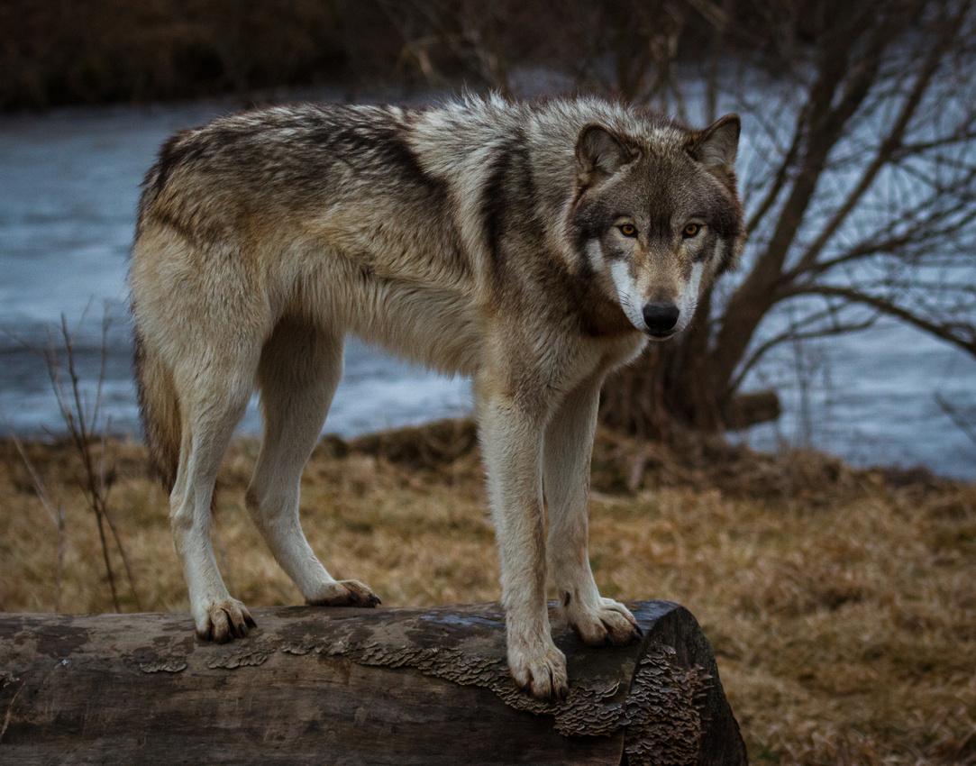 Wolf Intensity