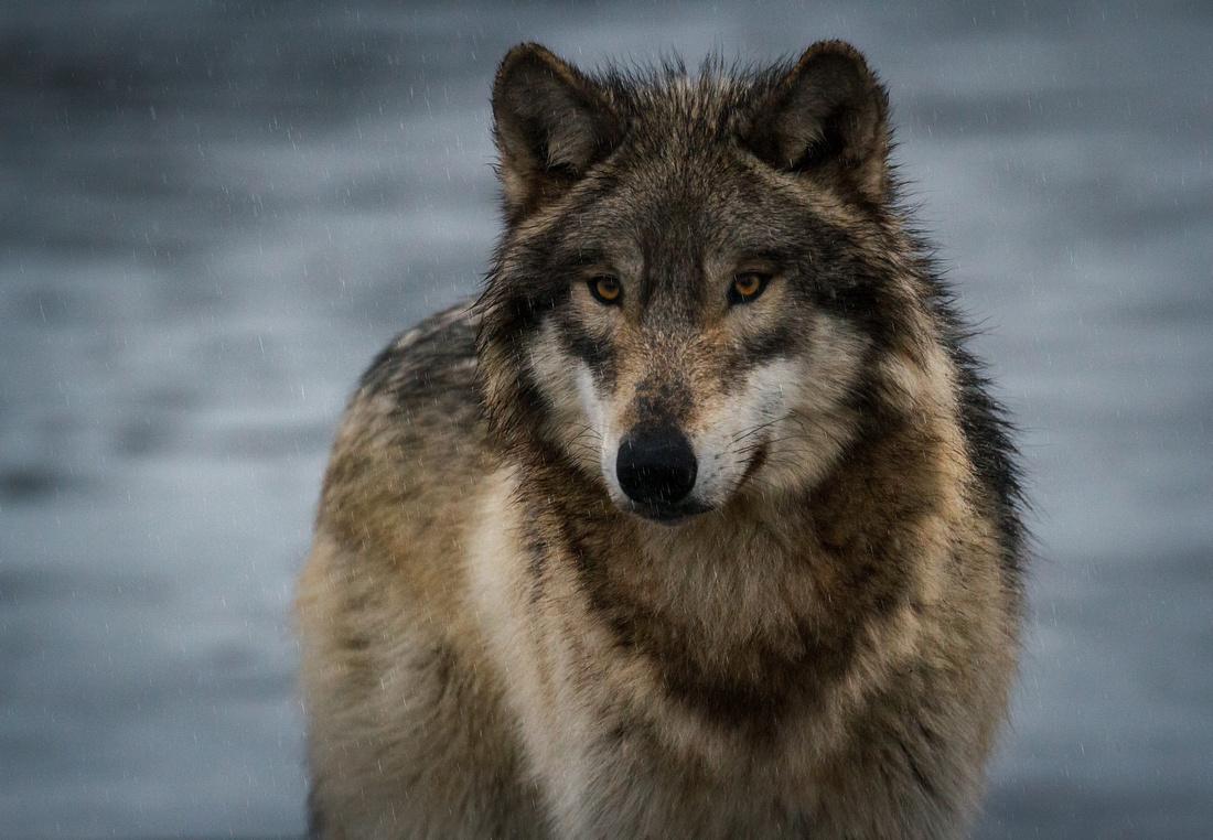 Wet Wolf on Ice