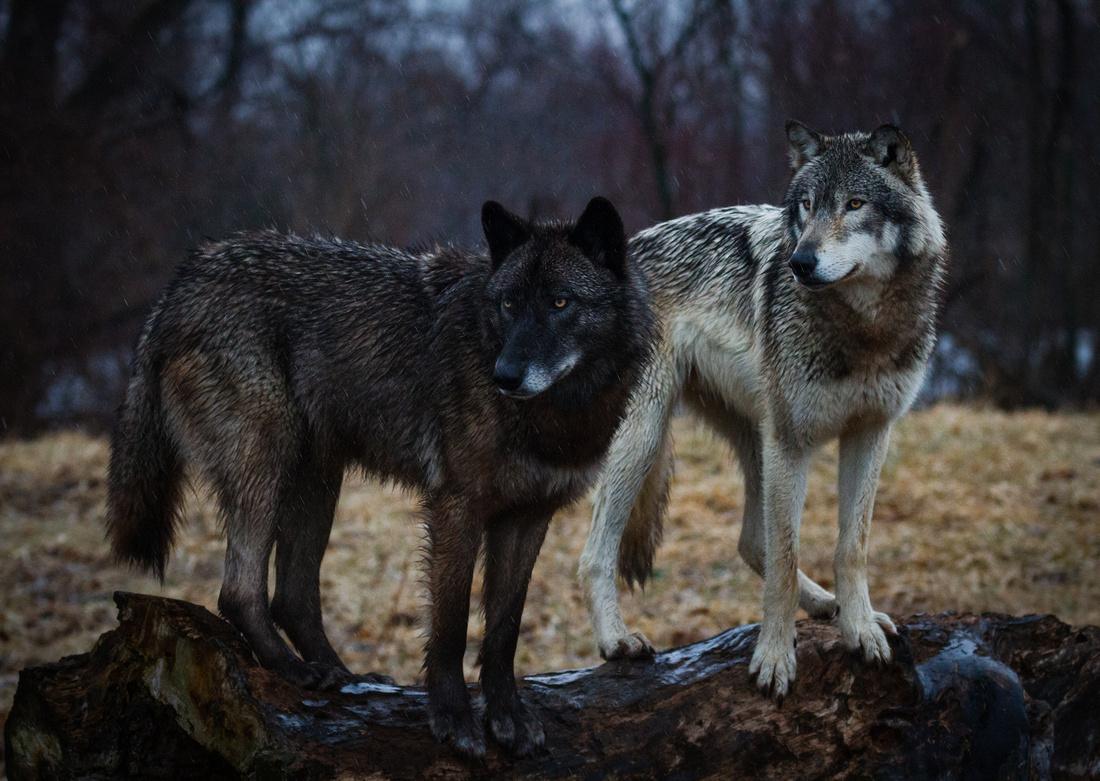 Wolves on a Log
