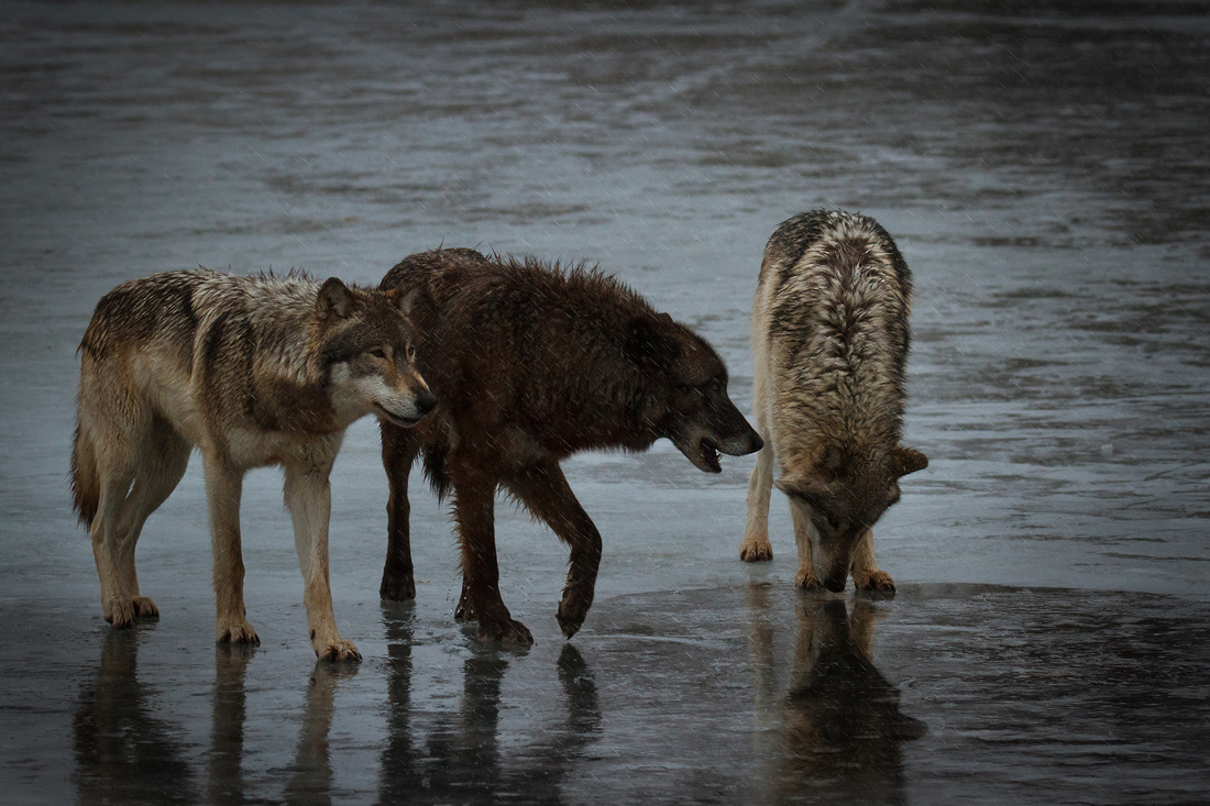 Wolves on a Winter Stroll