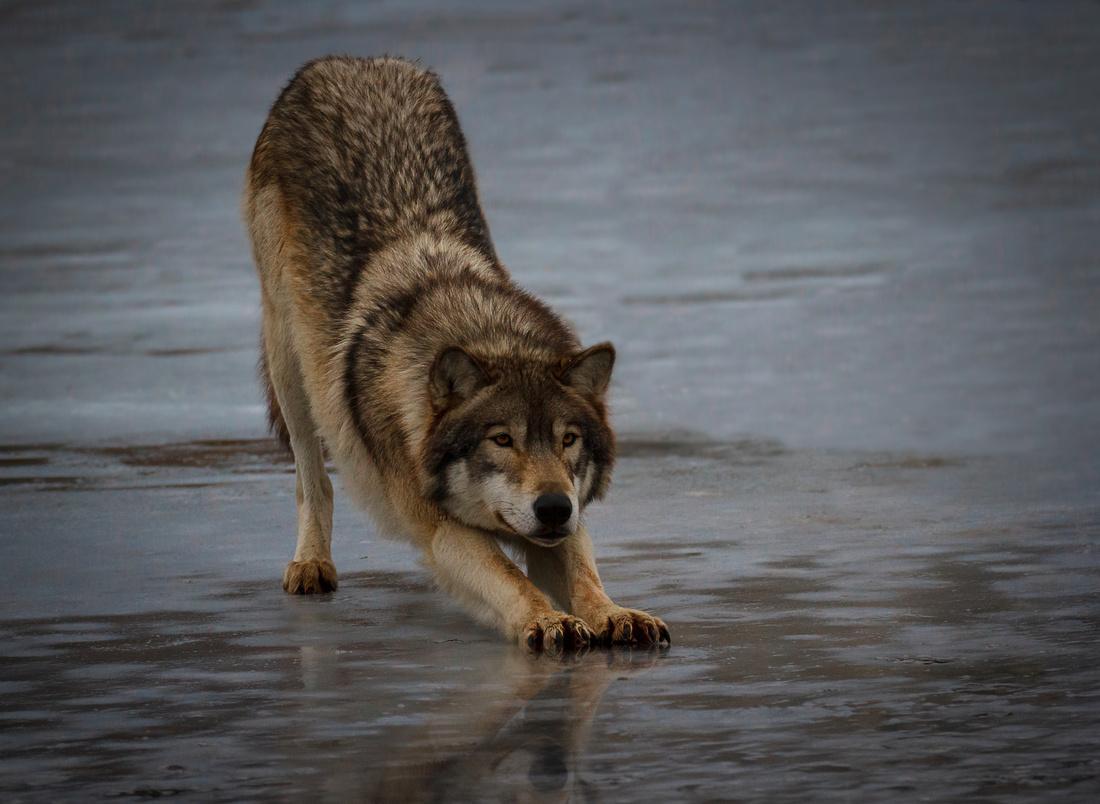 Wolf Stretch
