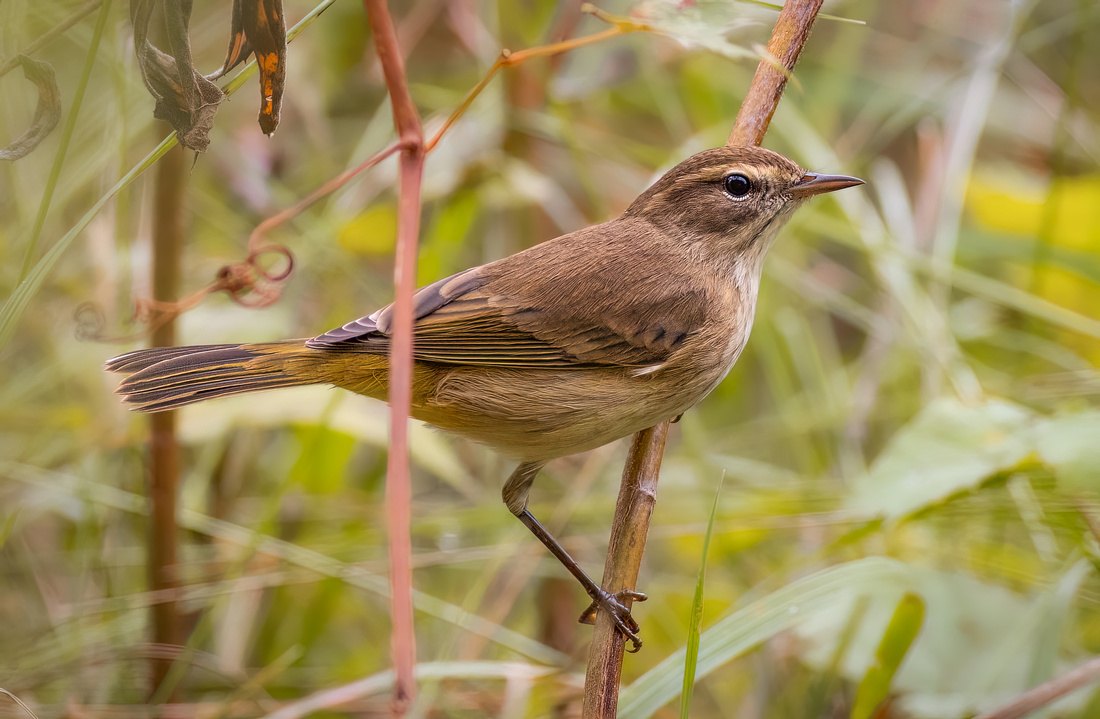 Palm Warbler in the Fall