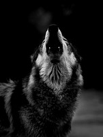 A Cold Howl