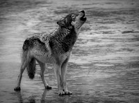 Howling in the Rain