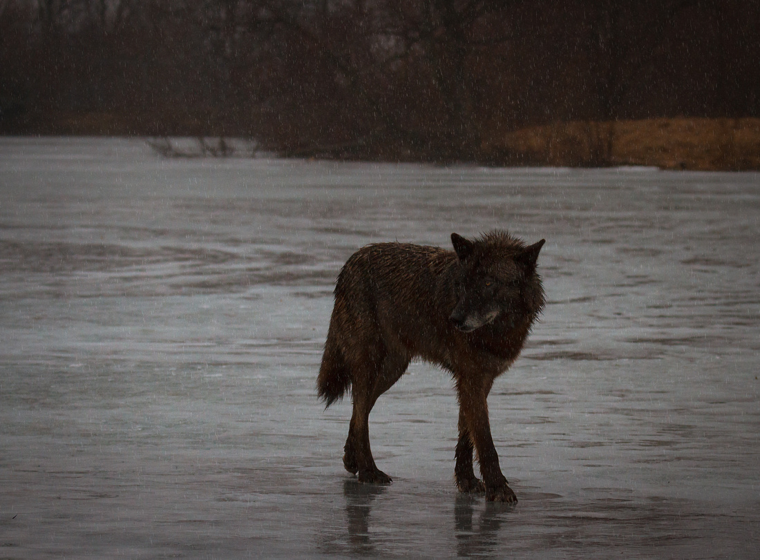 Wolf in the Rain Landscape