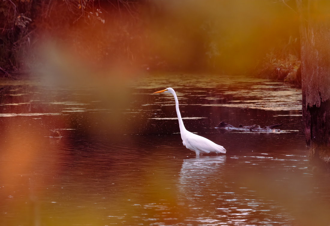 Great Egret through Fall Leaves