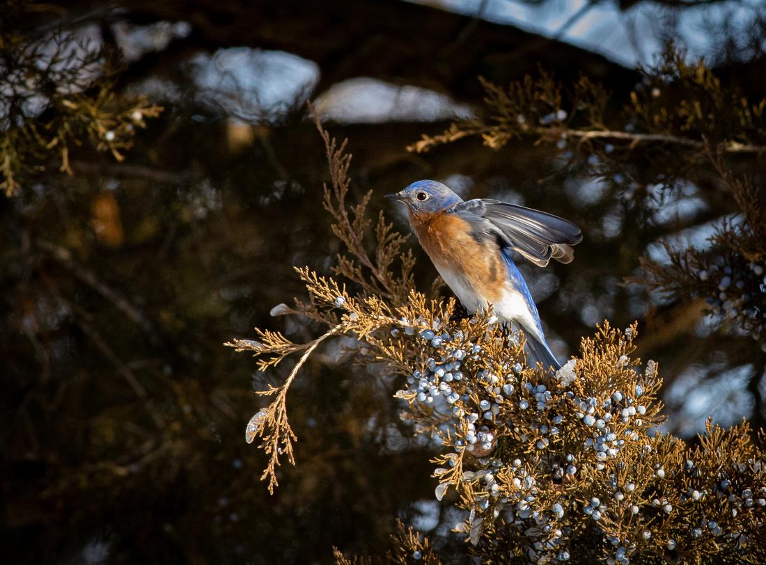 Eastern Bluebird 47