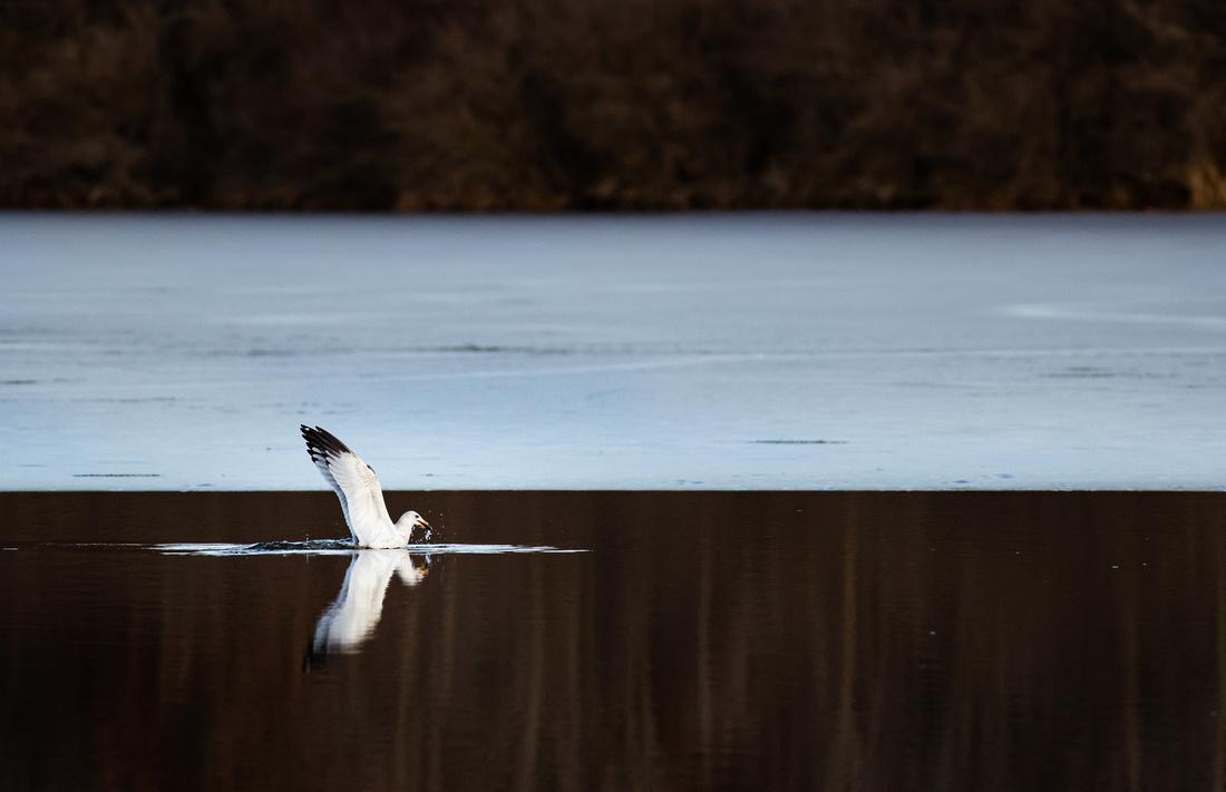 Ring-Billed Gull Fishing