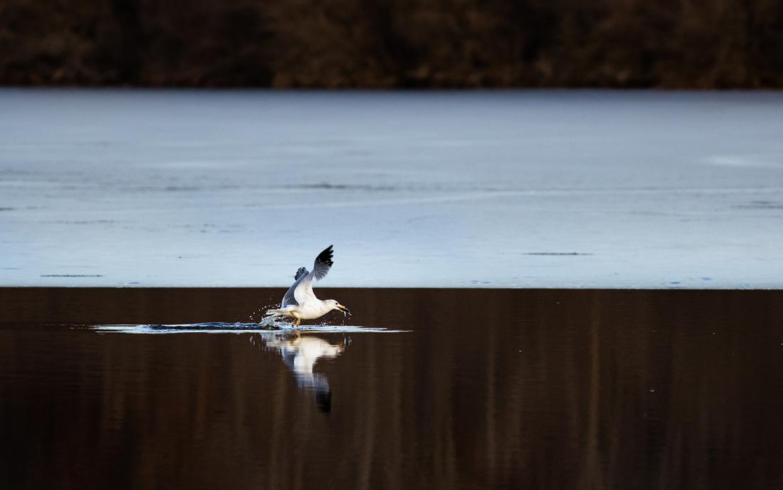 Ring-Billed Gull Fishing 1