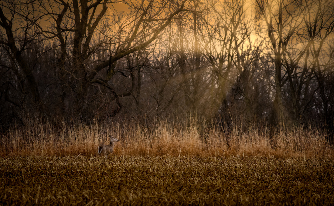 Morning Doe at Sunrise
