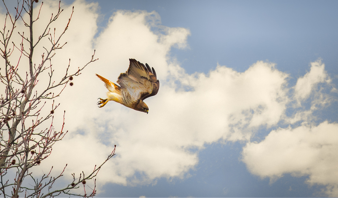 Red Tailed Hawk Dive