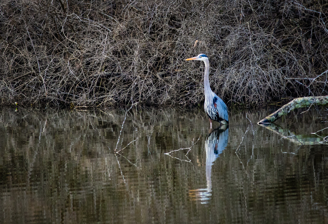Great Blue Heron Fish Sequence 1