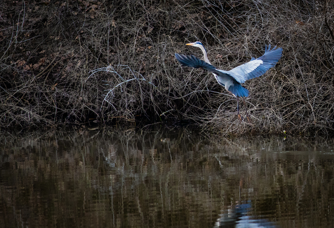 Great Blue Heron Fish Sequence 3