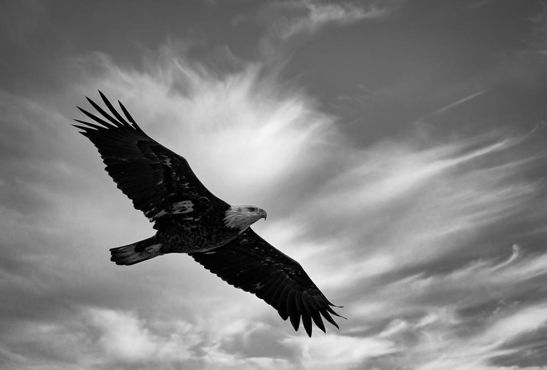 Lake Evergreen Bald Eagle