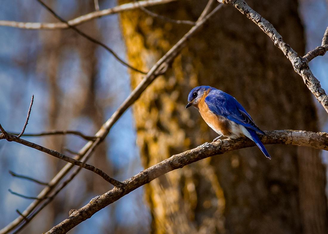 Eastern Bluebird in Golden Hour