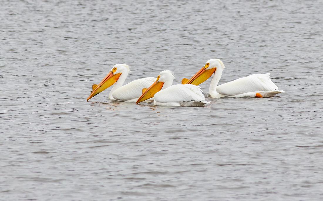 3 Amigos of Pelicans