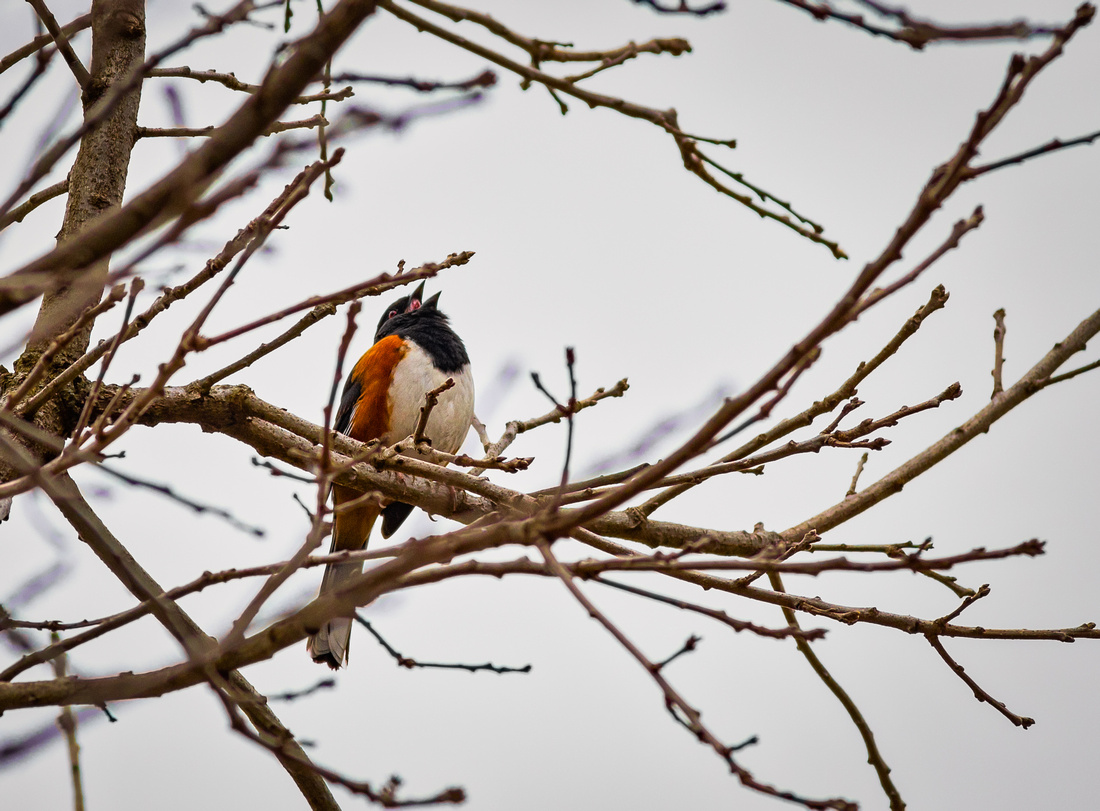 Eastern Towhee Morning Song