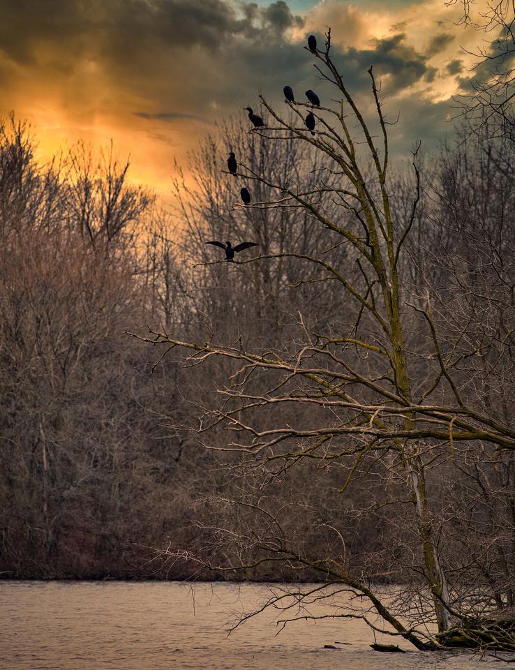 Cormorants at Sunset