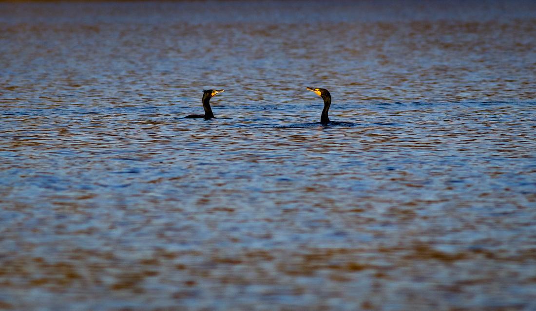 A Conversation Between Cormorants