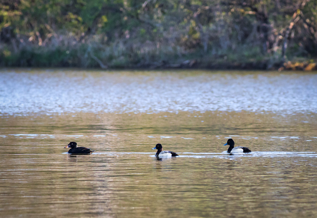 Scoter with Scaups