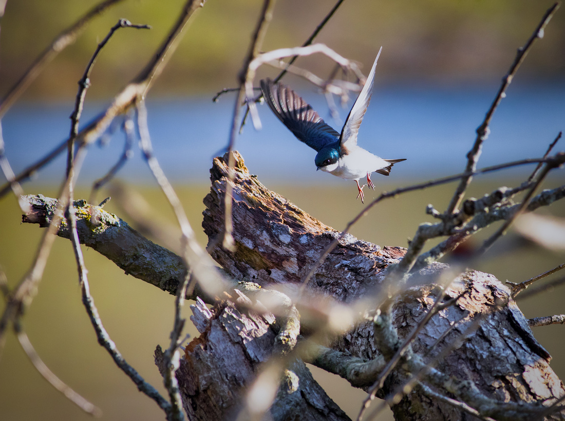 Tree Swallow on the Move