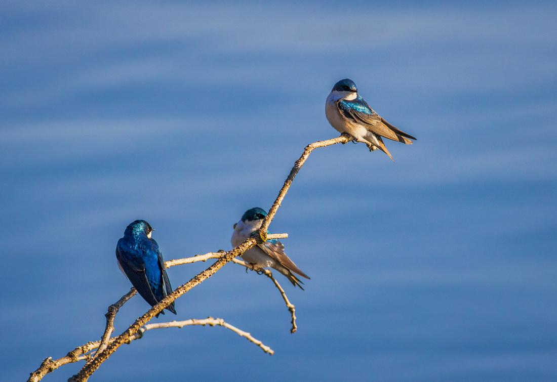 Tree Swallows Sunning on a Limb