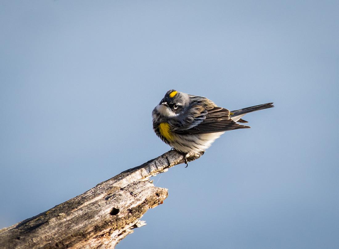 Posing Yellow-rumped Warbler