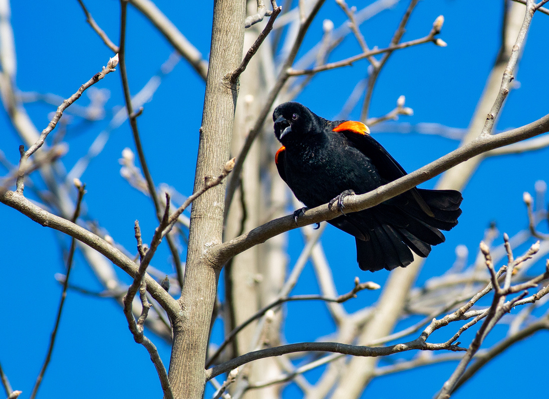 Red-winged Blackbird Midcall
