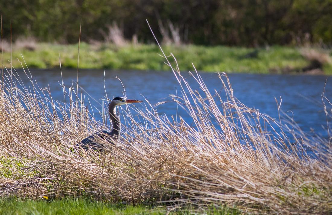 Great Blue Heron Lurking