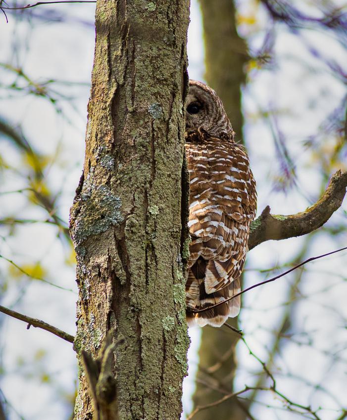 Barred Owl Encounter