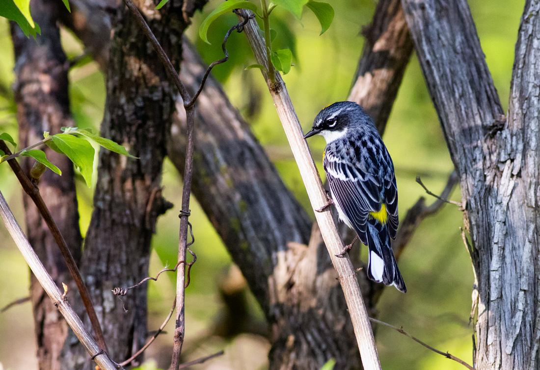 Yellow-rumped Warbler Pose