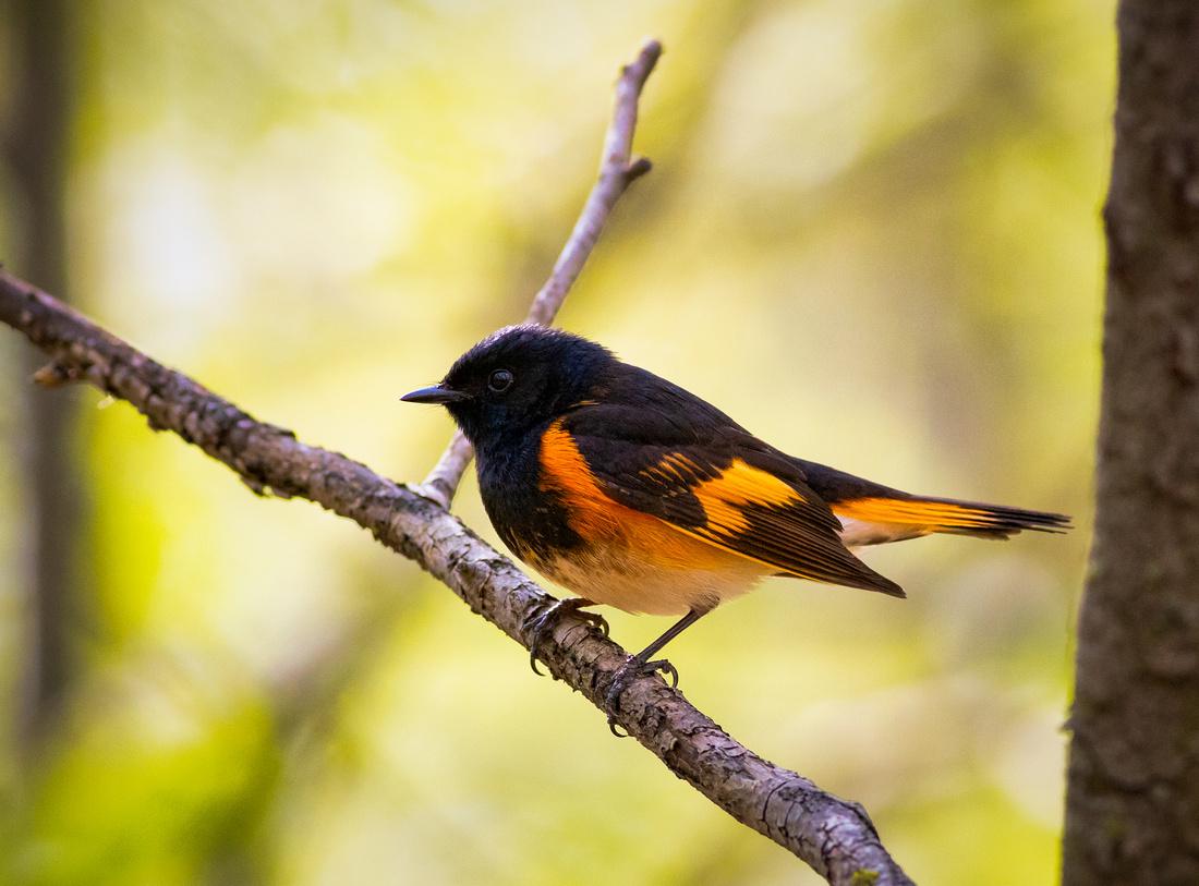 American Redstart Portrait