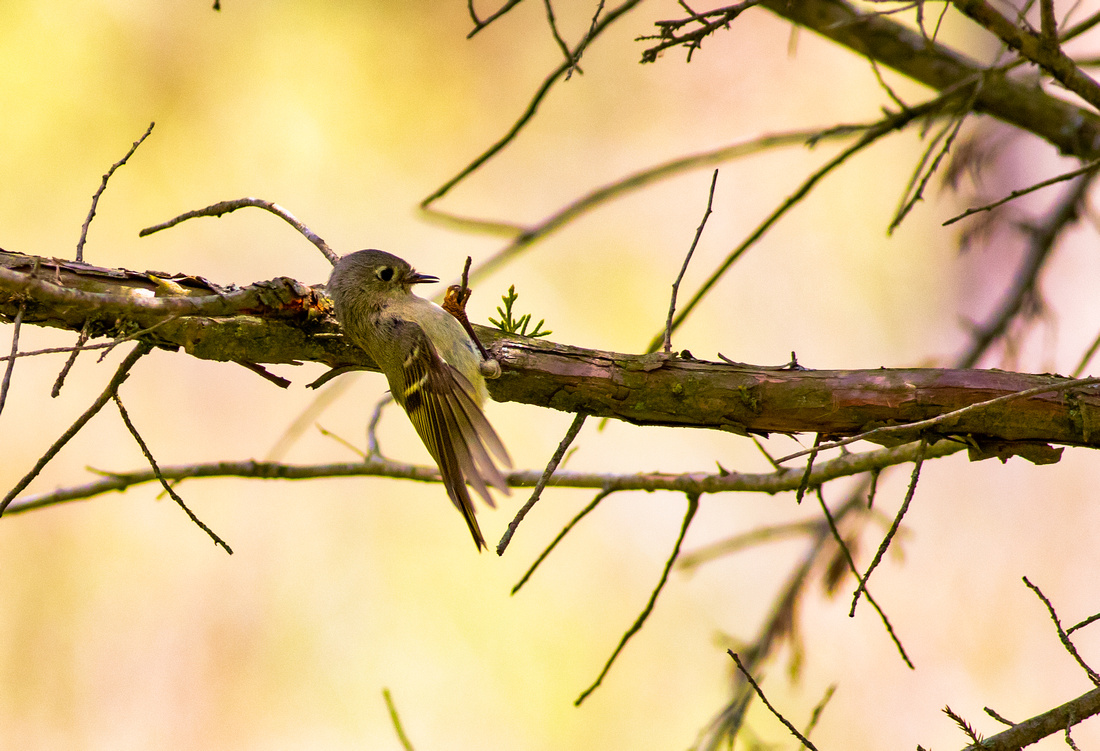 Ruby-Crowned Kinglet Morning Workout