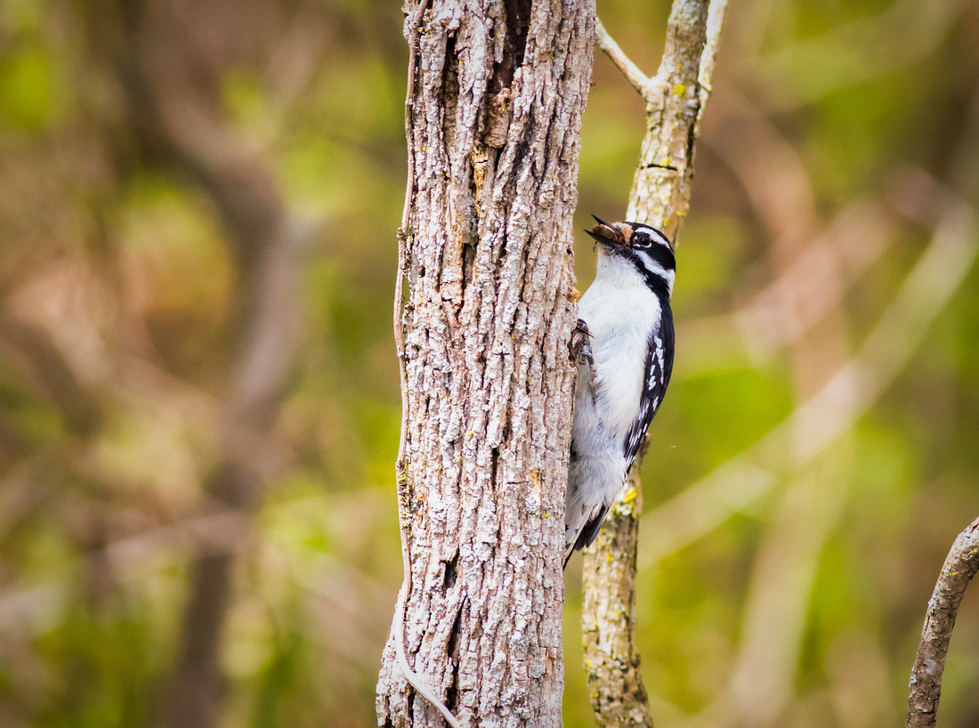 The Downy Woodpecker Found a Spider