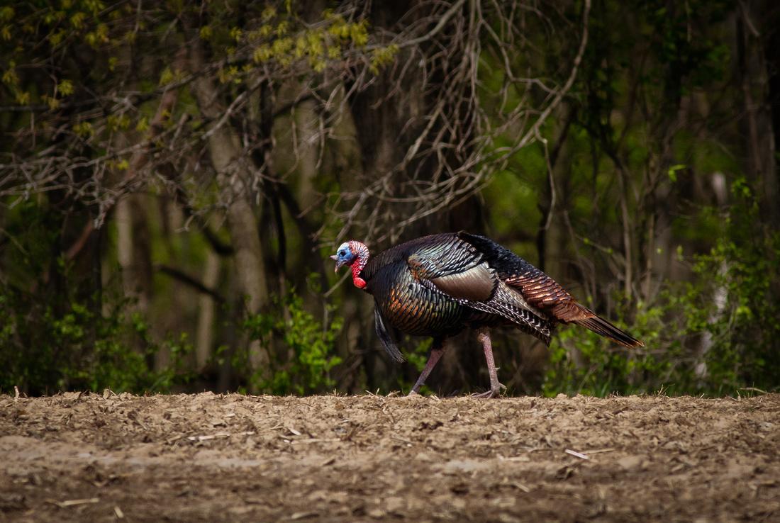 Wild Turkey Showing Off