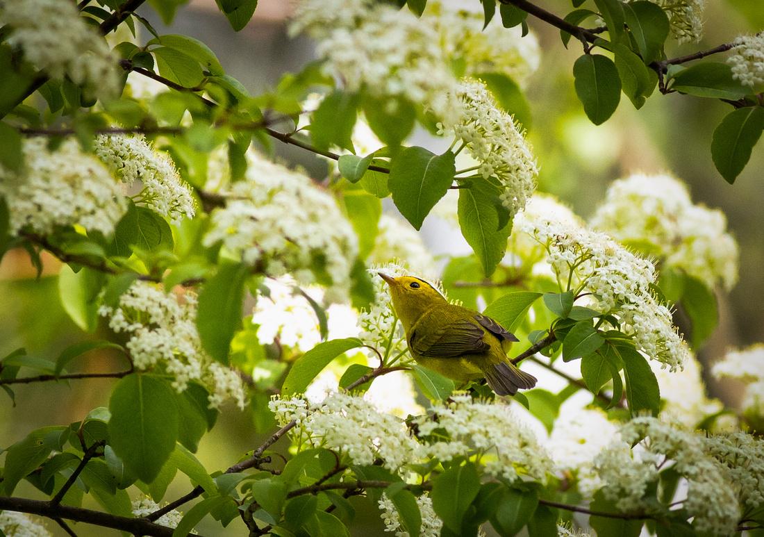 Wilson's Warbler in a Viburnum Bush
