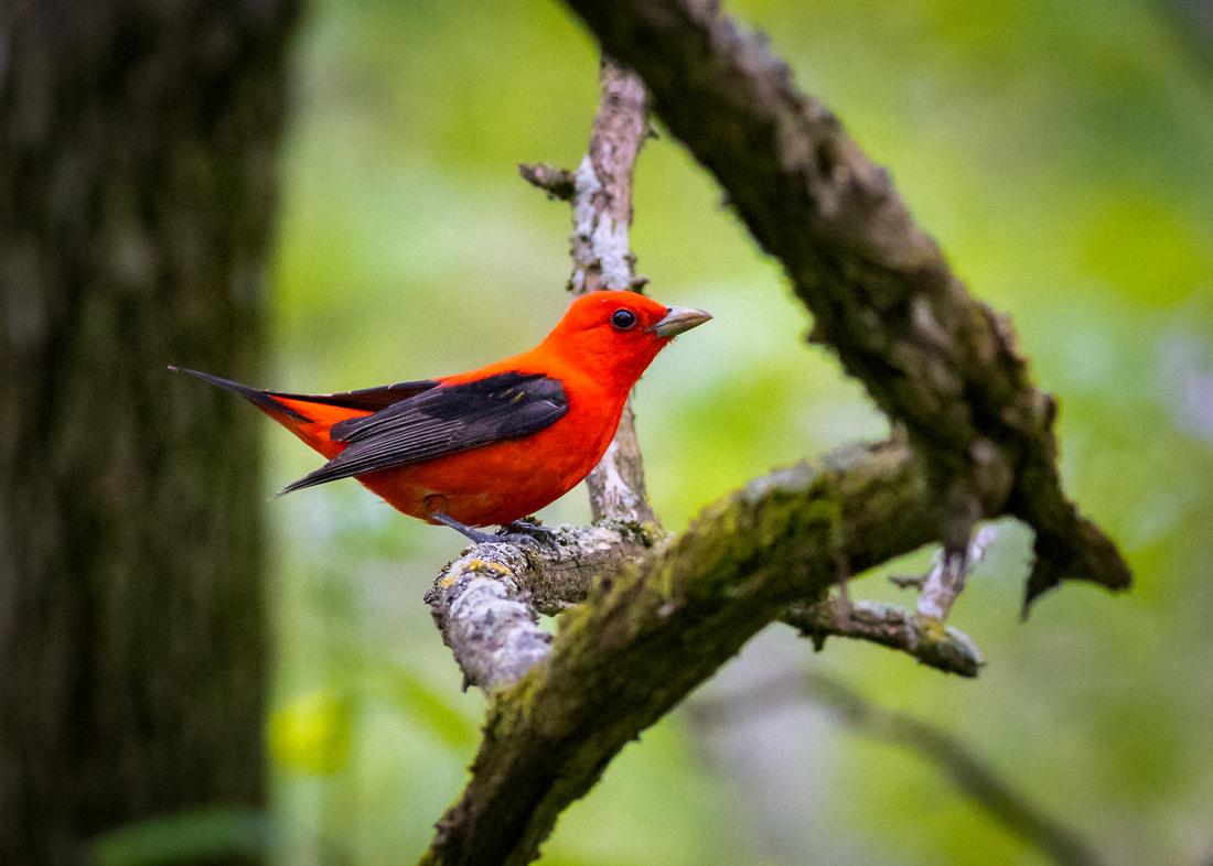 Brilliant Scarlet Tanager