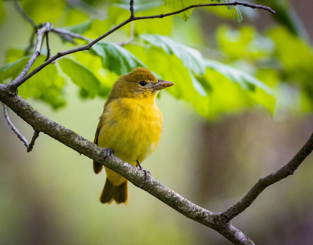 Summer Tanager (Female)