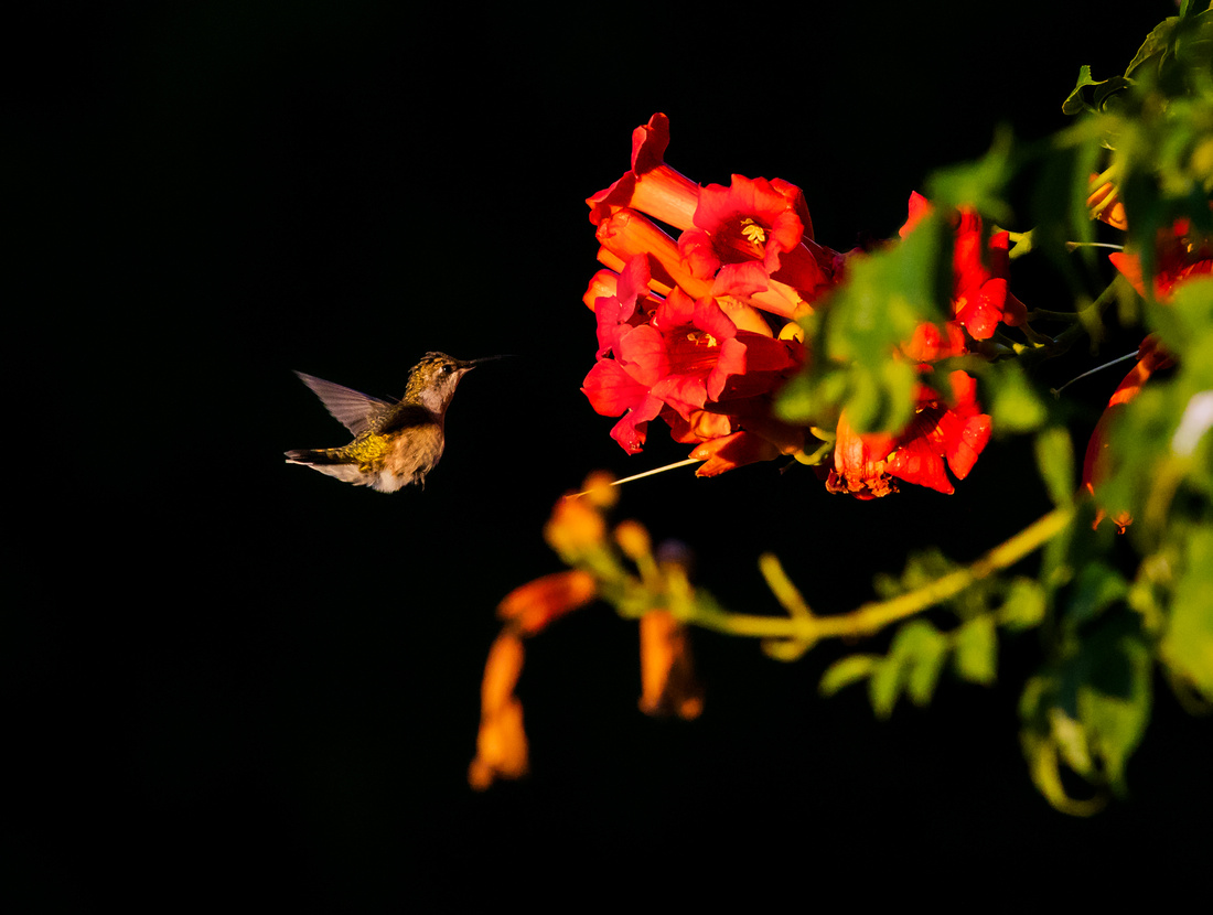 Hummingbird Feeding on the Trumpet Vine before Sunset
