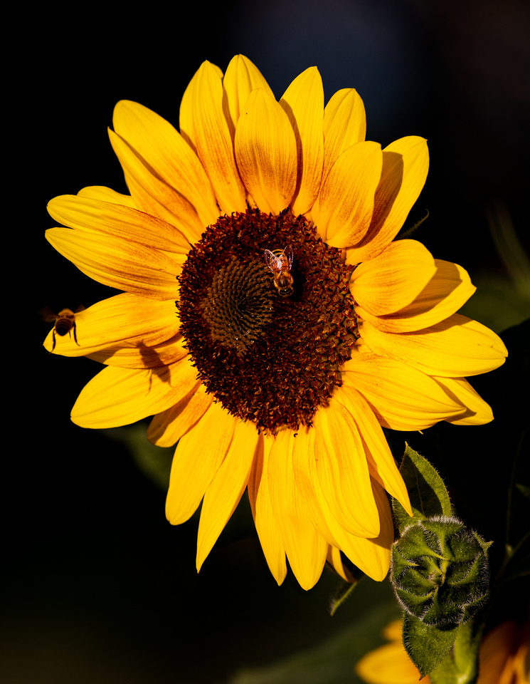 Bees Love the Sunflower