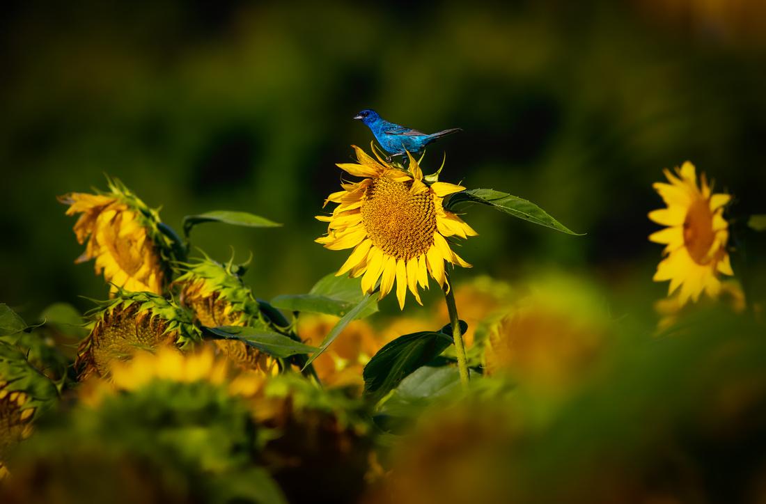 Patrolling the Sunflower Field