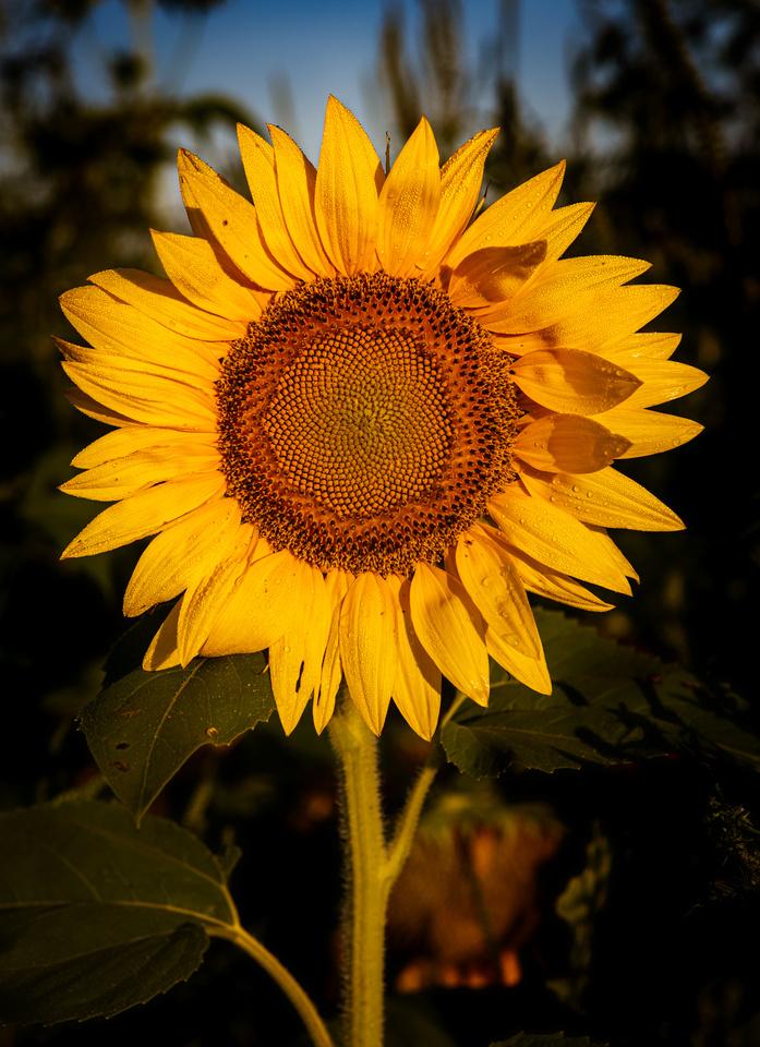 Sunflower Dew