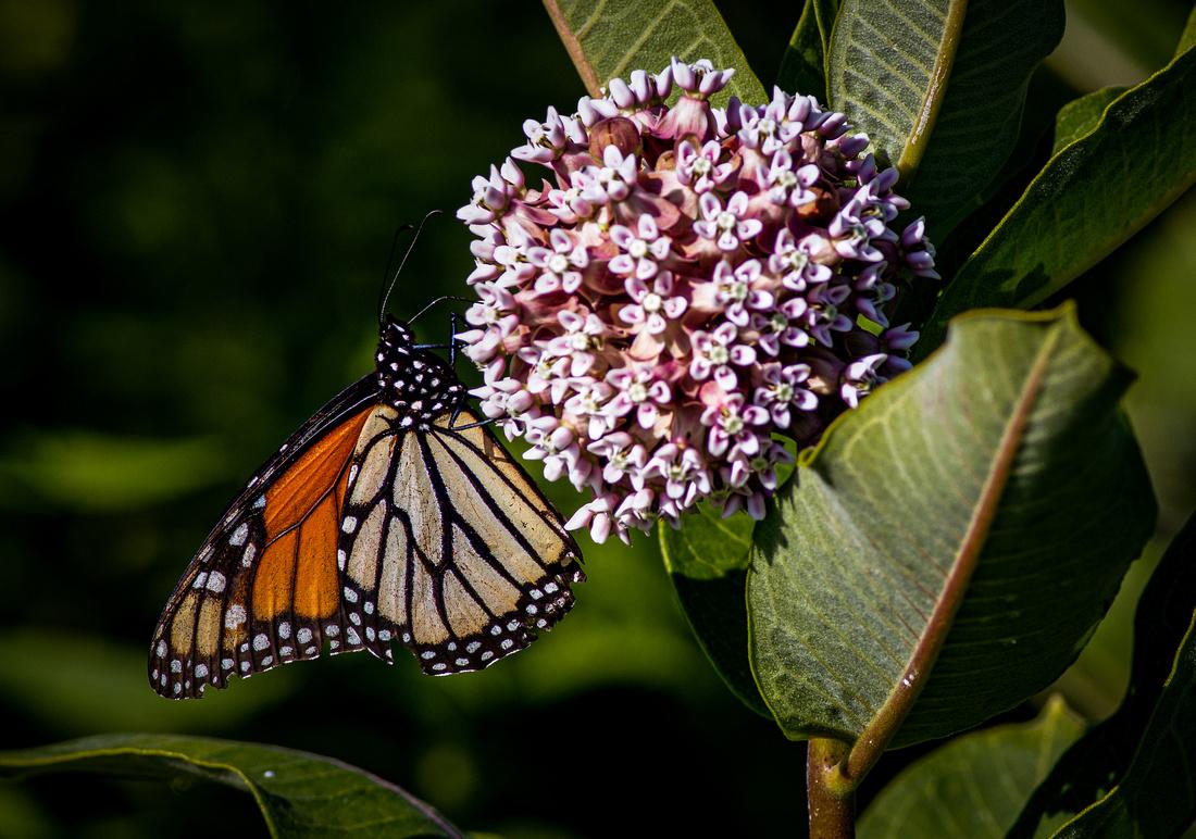 Monarch on a Milkweed