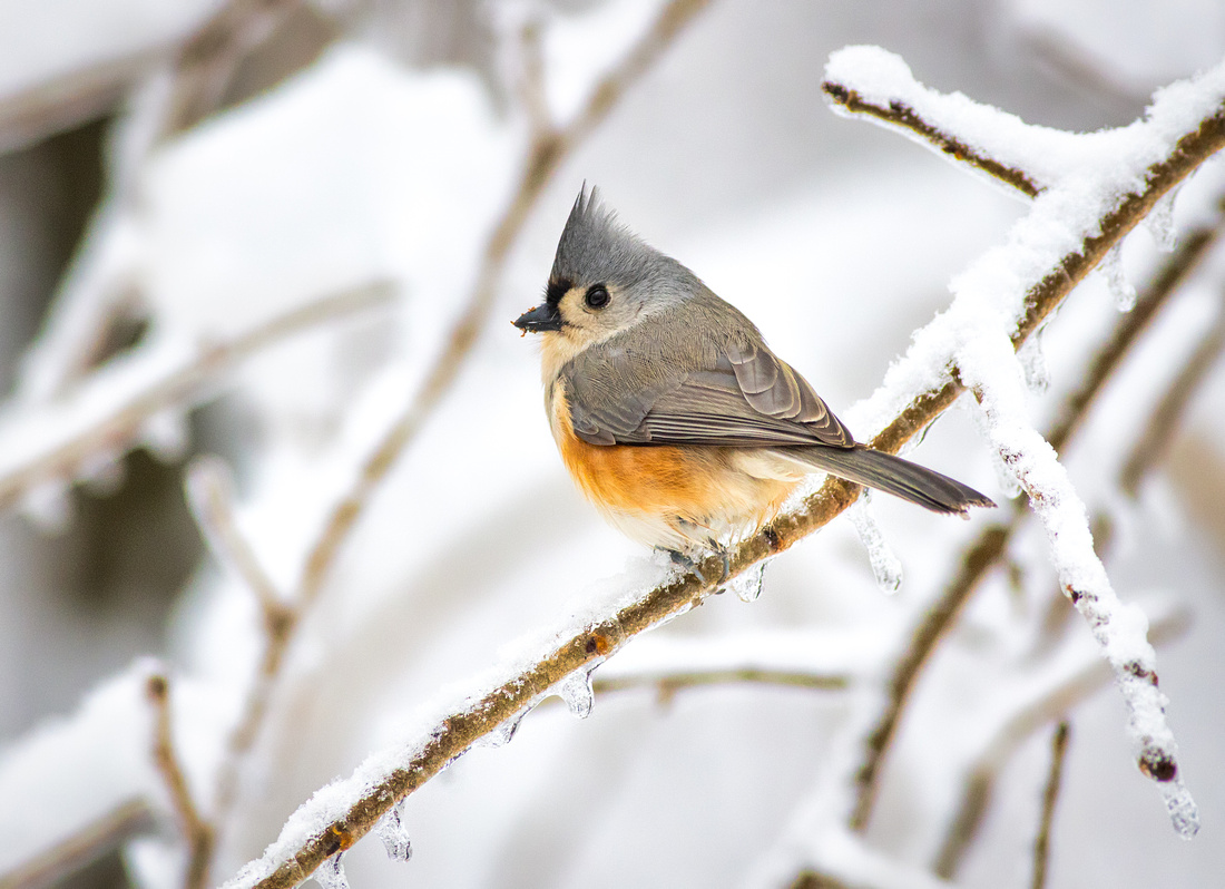 Tufted Titmouse on a Snowy Branch