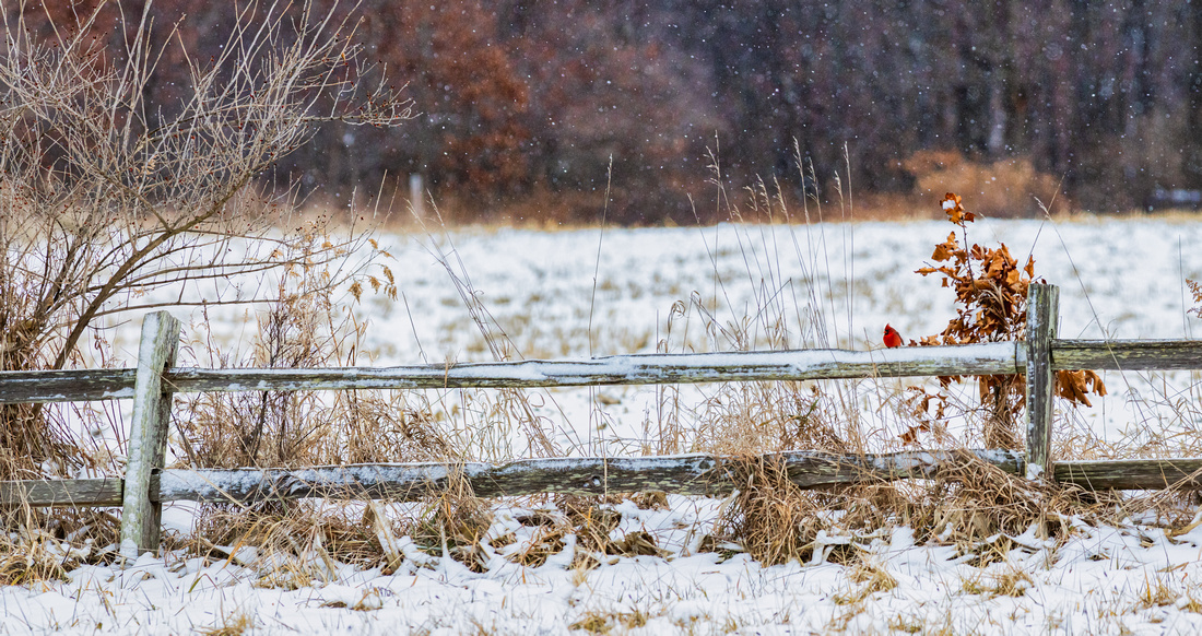 Cardinal on a Snowy Fence