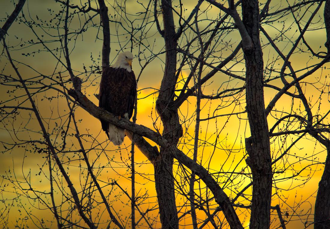 Bald Eagle at Sunset on the Mackinaw
