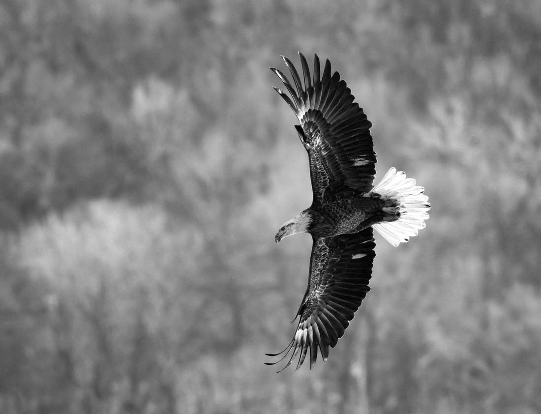 B&W Eagle Wingspan